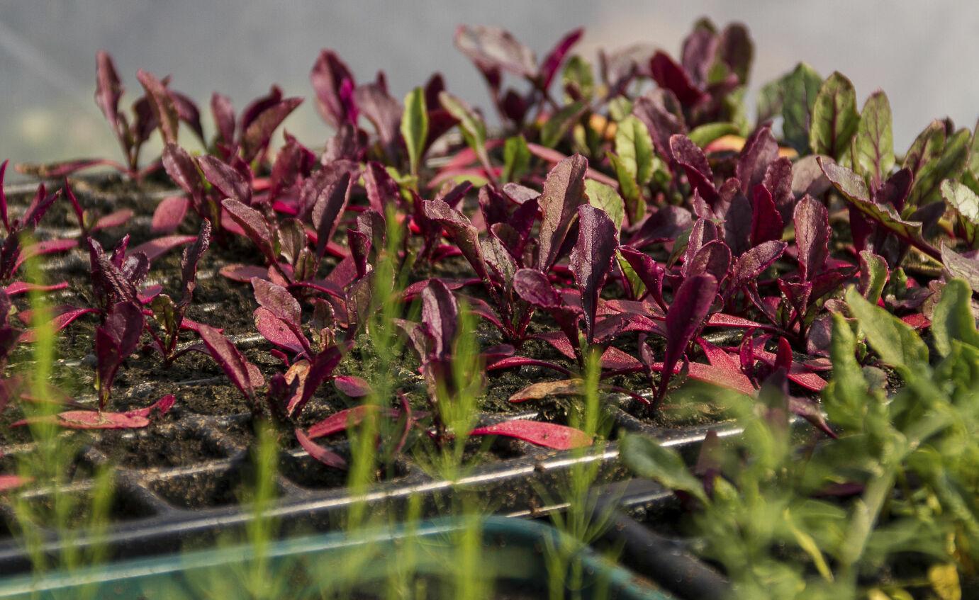 Desemberglede: Sortere frø og dyrke grønnsaker er førjulsaktiviteter for store og små. Foto: Maria Fors Östberg