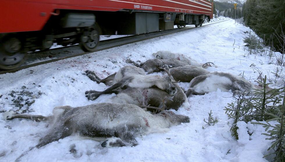 BER BETALE: Reinbeitedistriktet i Nordland som har mistet rundt 135 reinsdyr etter togpåkjørsler den siste tiden, mener Bane Nor bør erstatte både dyra og andre utgifter. Foto: John Erling Utsi / NTB scanpix