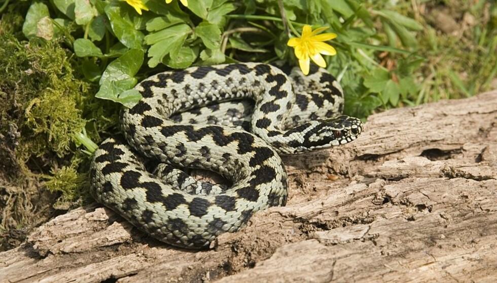 REKORD: Hoggormen er Norges eneste giftige slange. Cirka 30 prosent av alle hoggorm-bitt er bitt der det ikke sprøytes inn gift (tørrbitt), og slike tørrbitt er helt ufarlige, ifølge FHI. Bittet ses oftest som to små prikker med 3 til 9 millimeters avstand. Foto: NTB