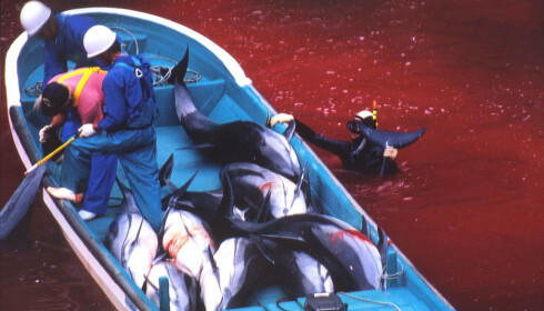 BLODIG: Bilder brukt i «The Cove» viser havet farget rødt av blod. Foto: AFP PHOTO / Sea Shepherd Conservation / NTB Scanpix