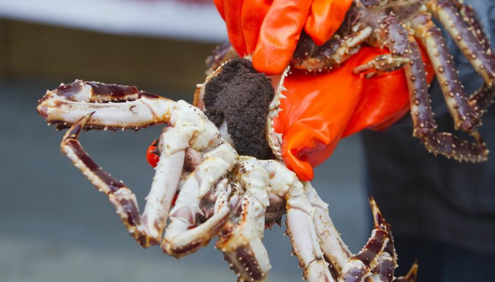 REDUSERES: Kongekrabbekviten reduseres med 250 tonn. Her vises krabbens rogn fram. Foto: Heiko Junge / Scanpix .