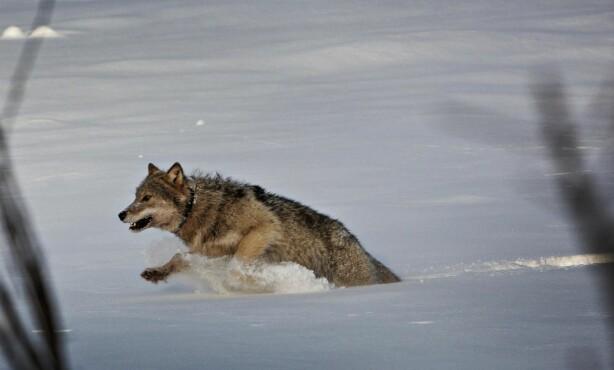 MERKES: En ulv fra Slettåsreviret i skogene mellom Elverum og Trysil er på beina igjen og på vei ut i terrenget etter å ha blitt merket av det skandinaviske forskningsprosjektet SKANDULV. Foto: Jørn H. Moen / Dagbladet
