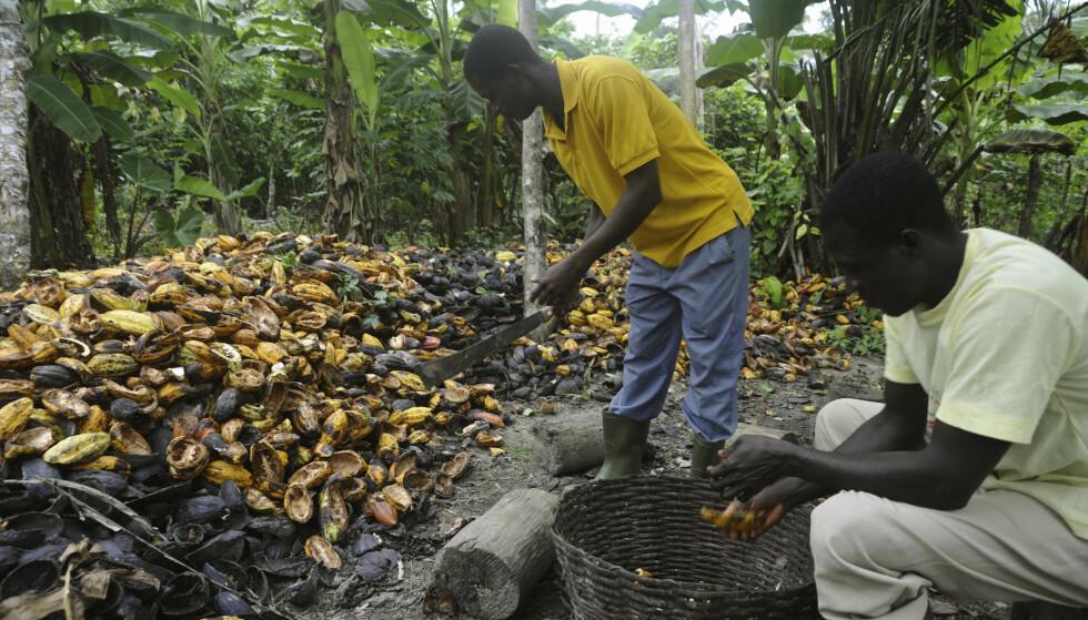 SÅRBAR: Kakaoplantene trives kun i beltet rundt ekvator, og er ekstra sårbare for klimaforandringer. FOTO: Reuters / NTB Scanpix