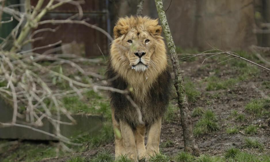 LØVE: Den antatte krypskytteren ble spist av løver i Sør-Afrika. Foto: AP Photo/Matt Dunham/NTB Scanpix