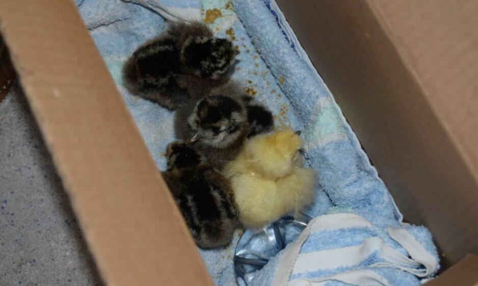 KYLLINGER OVER GRENSA: Synet av små, søte kyllinger var det tollerne på Svinesund ble møtt av da de stoppet en bil med en mistenkelig pappeske. (Foto: Tollvesenet)