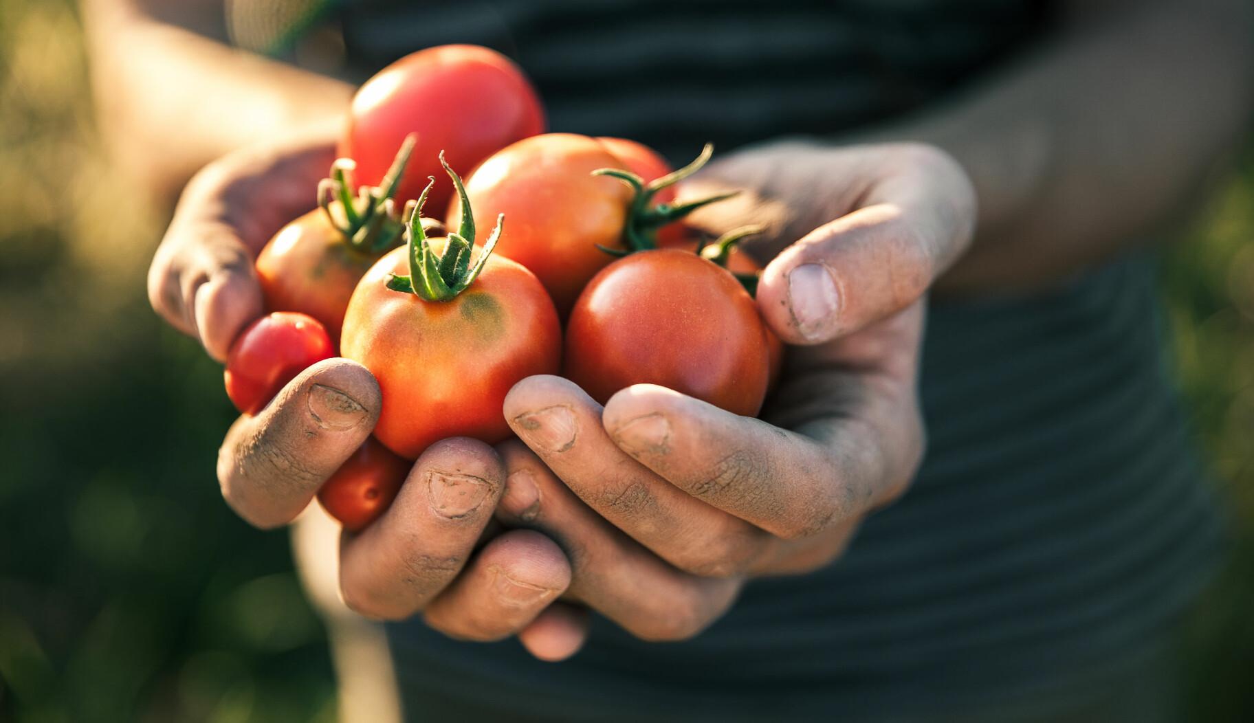 - Jeg tenker på tomater fra tidlig morgen til sent på kveld