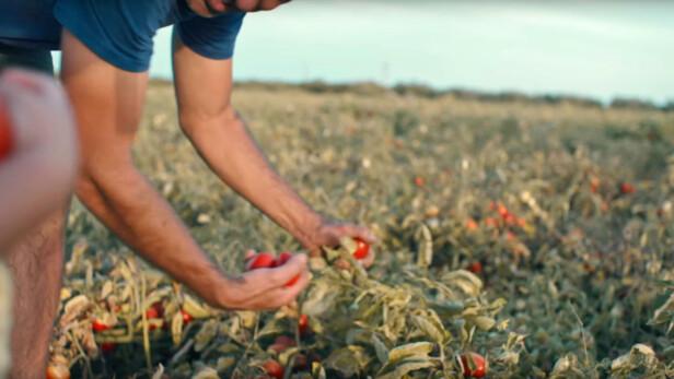 BÆREKRAFTIG: Ved å tenke miljø og bærekraftighet, dyrker tomatbøndene i Badajoz frem fantastiske tomater. Foto: Knorr