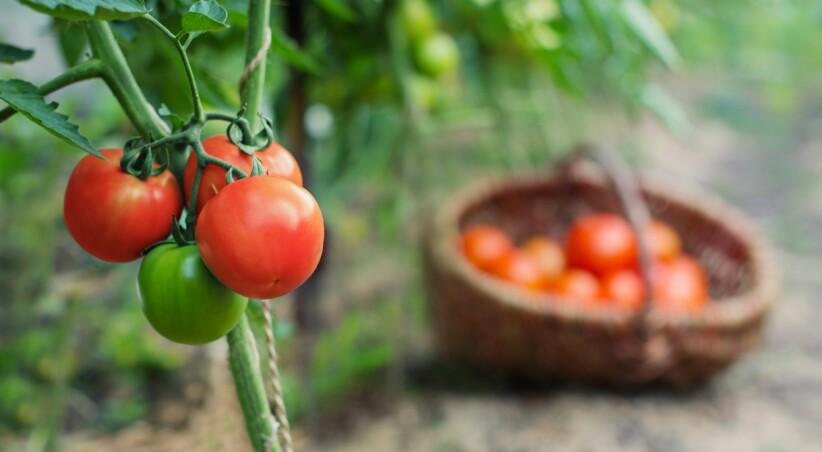 SØTE OG SAFTIGE: Korrekt mengde vann er essensielt for å dyrke frem perfekte tomater. Foto: NTB Scanpix / Shutterstock