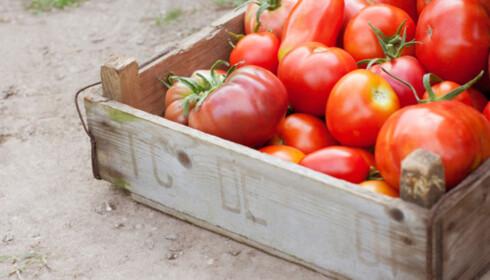 INNHØSTING: Tomatbøndene i Badajoz slutter med vanning av tomatene én uke før de plukkes. Foto: Knorr