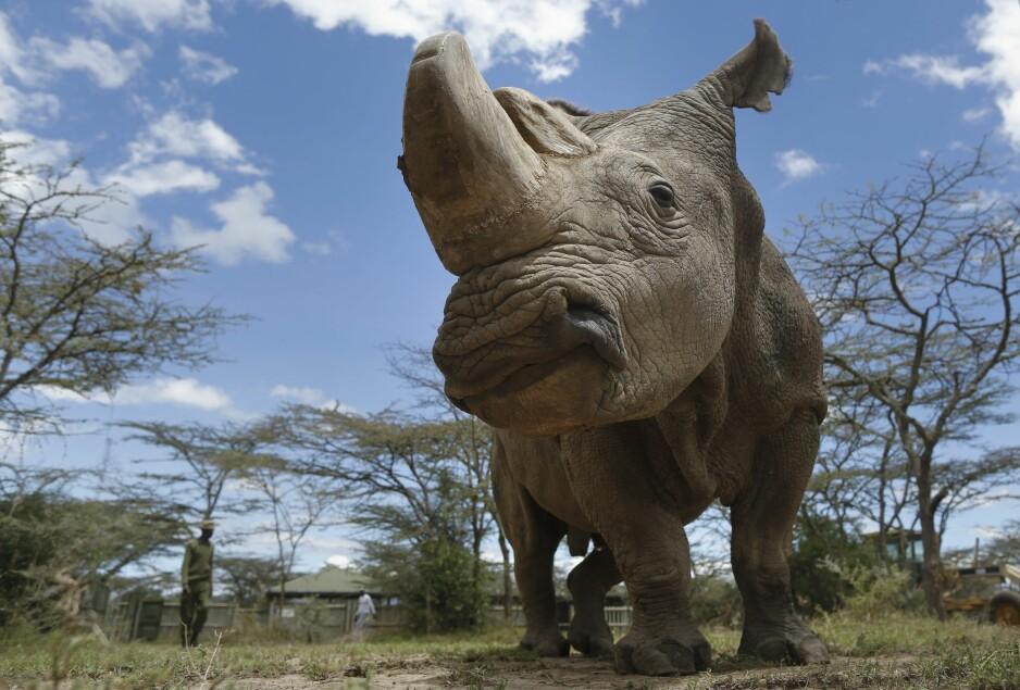 NÅ ER HAN DØD: Verdens siste nordlige stumpneshorn, Sudan, sovnet i går stille inn, etter lang tids sykeleie. Han ble 45 år gammel, som tilsvarer 90 menneskeår. Forskere har hentet ut sæd fra Sudan, i håp om å føre arten videre, men zoolog Petter Bøckman er tvilende til at dette vil gå. - Dette handler ikke om sauer, men om veldig store dyr. Foto: Epa / Scanpix