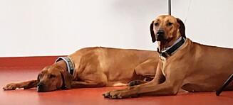 Blodgiverhundene Akeelah og Kipawa er «Norges dyrehelter»