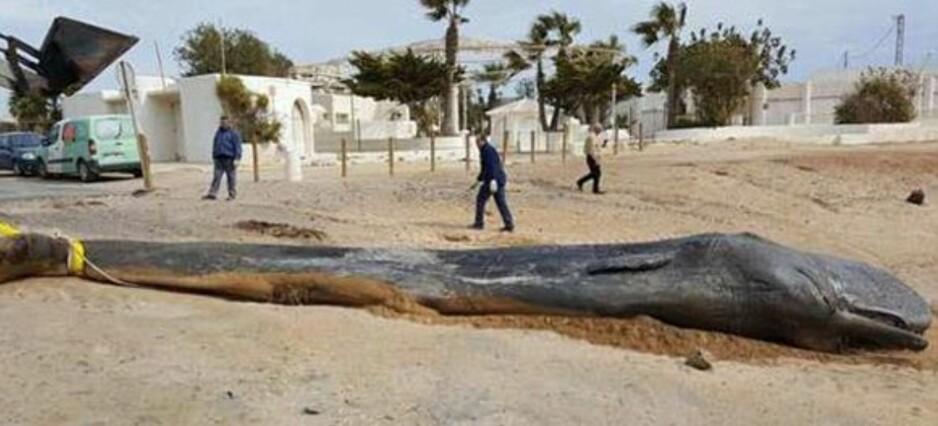 SKREKKFUNN: Den døde spermhvalen på stranda i Cabo de Palos, om lag 50 kilometer sør for Alicante i Spania, var tynn og i dårlig forfatning. Obduksjonen forteller hvorfor. Foto: Murcia regional government/CARM.