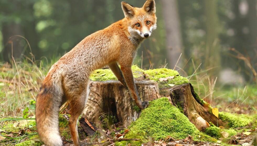 FORVERRER UBALANSEN: Vi oppnår ingenting med å drive krig mot naturens dyr, annet enn å forverre den ubalansen vi allerede har skapt, skriver artikkelforfatteren. Illustrasjonsfoto: NTB scanpix