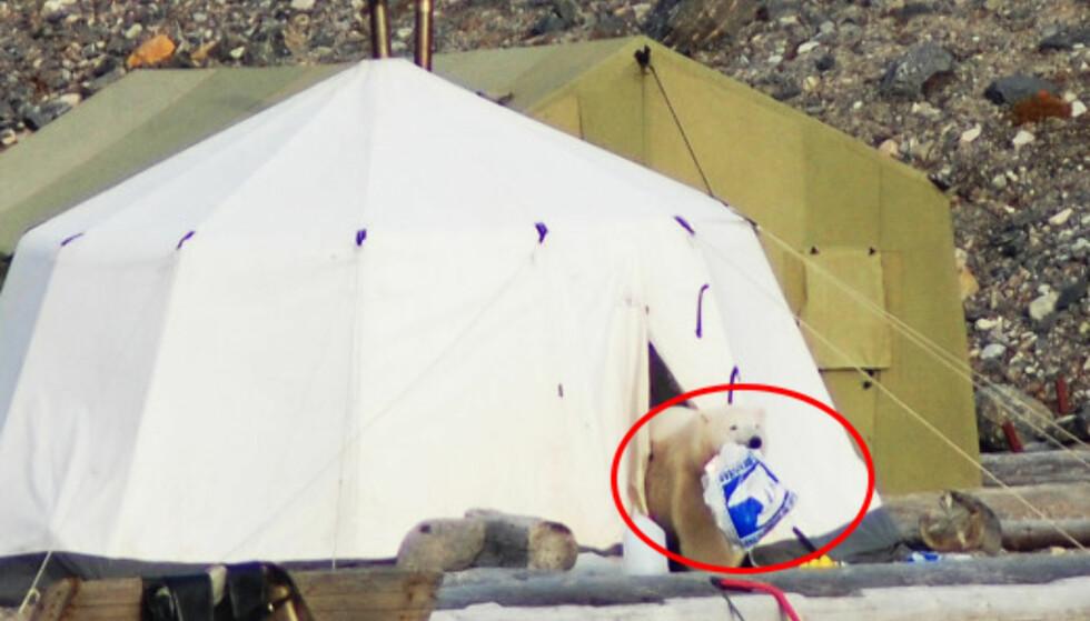 <strong>ISBJØRN:</strong> En sulten isbjørn har forsynt seg med en handlepose med mat fra Coop på Svalbard. Foto: Elida Langstein