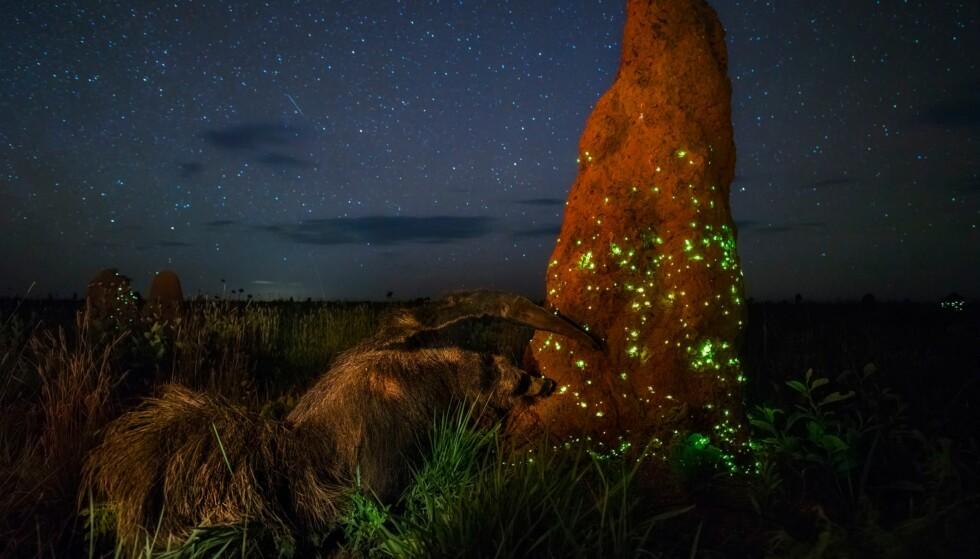 JUKS: Dette er altså Marcio Cabrals vinnerbilde «The Night Raider», som nå er diskvalifisert. En granskingskomité er enige om at maurslukeren på bildet er utstoppet. Foto: Marcio Cabral