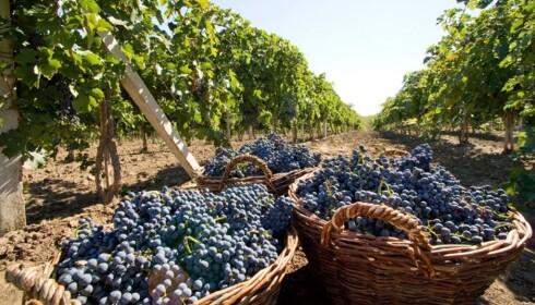 <strong>DRUEHØST:</strong> Moldova byr på kvalitetsvin, vinkjellere og druetråkking. Sesongen for vinproduksjon er i september og oktober.
