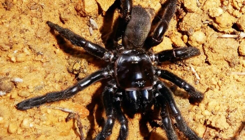 DØD: Verdens eldste edderkopp døde nylig i Australia. Foto: Curtin University