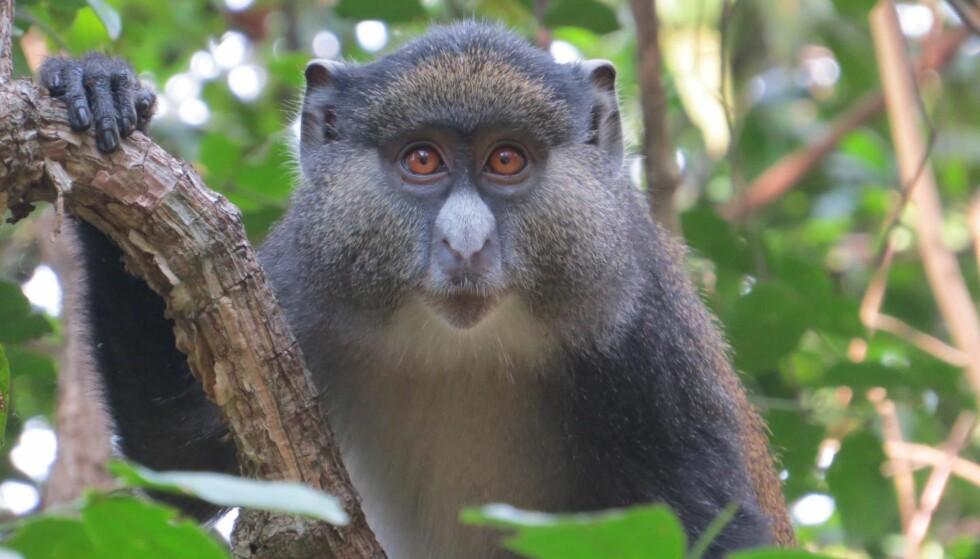 HYBRID: «Jimmy» er en hybridape i Dr. Kate Detwilers studie i Gombe nasjonalpark. Foto: Maneno Mpongo / Gombe Hybrid Monkey Project