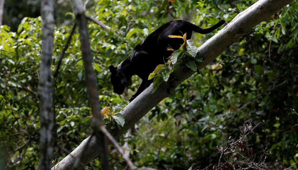 ARTSMANGFOLD: Regnskogene er de mest artsrike områdene på jorda. Her er en svart jaguar-hann på ved ned en trestamme i naturreservatet Mamiraua i Amazonas.