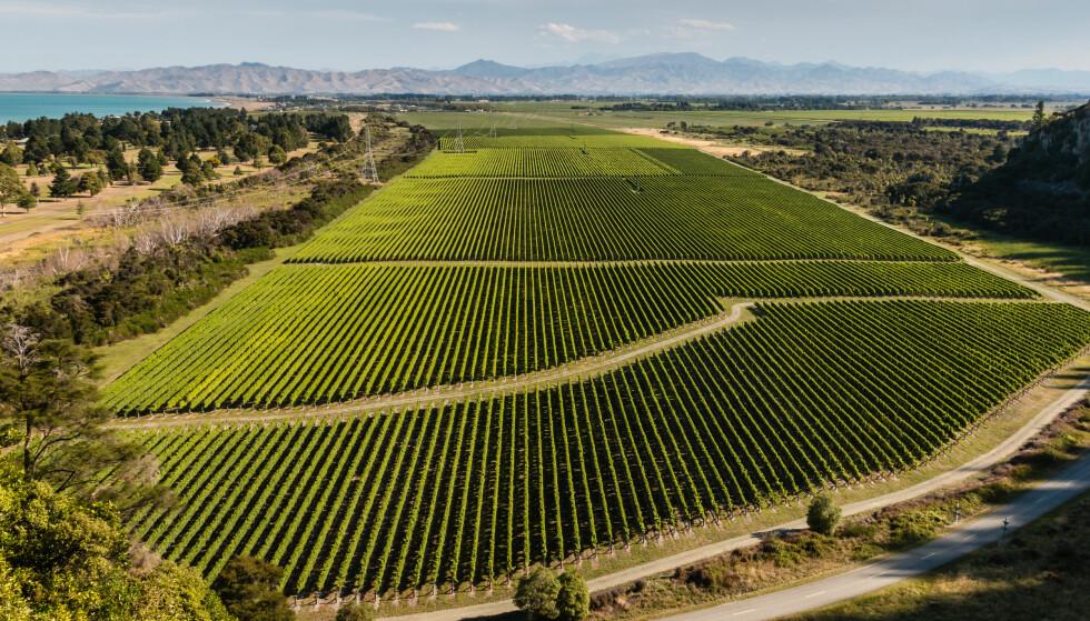 RANKER PÅ GELEDD: New Zealand har med sine gode dyrkningsforhold og fokus på moderne vinifikasjon klart å skape en særegen stil på sine viner som skiller de fra de klassiske vinlandene. Her fra Marlborough-distriktet. Foto: Shutterstock / NTB Scanpix