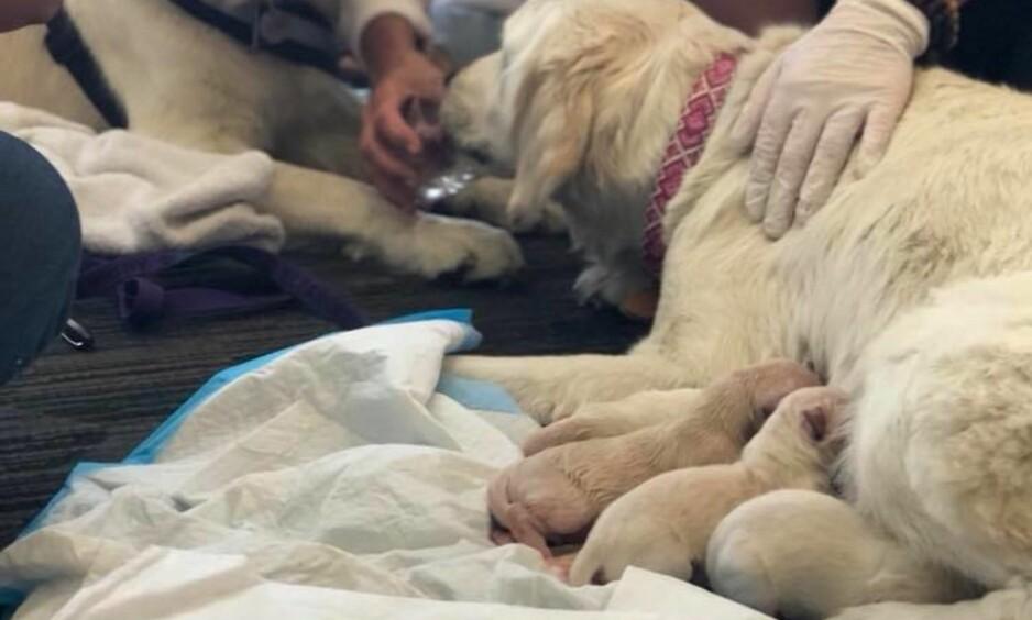 NYBAKT MOR: Hunden Ellie måtte føde rett før hun skulle på flyet til Philadelphia. Foto: Tampa International Airport