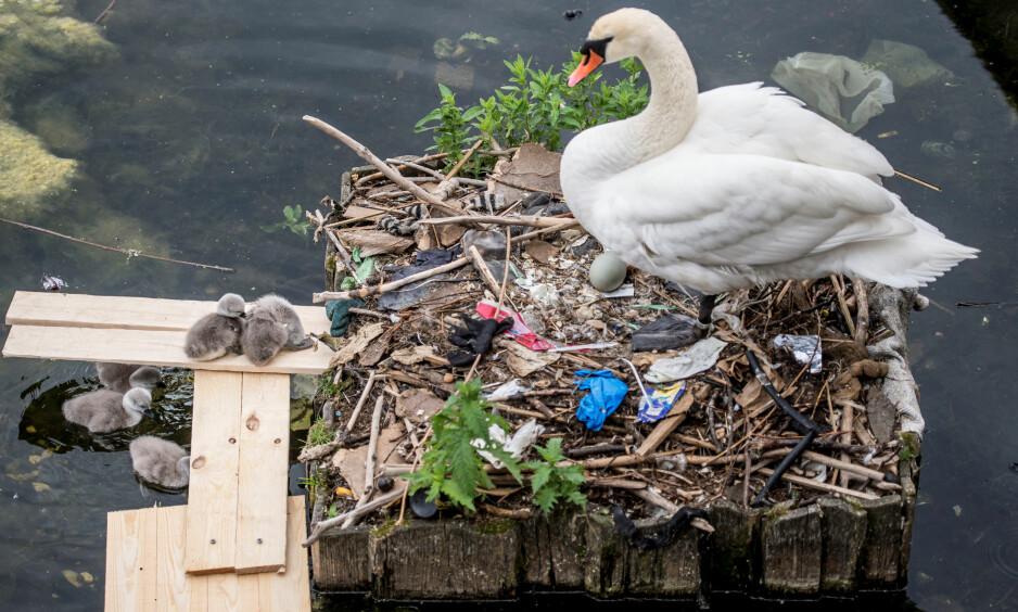 SØRGELIG SYN: Svanen og ungene bor bokstavelig talt på en haug av søppel under Dronning Louises bro. Foto: Mads Claus Rasmussen / Ritzau / NTB Scanpix