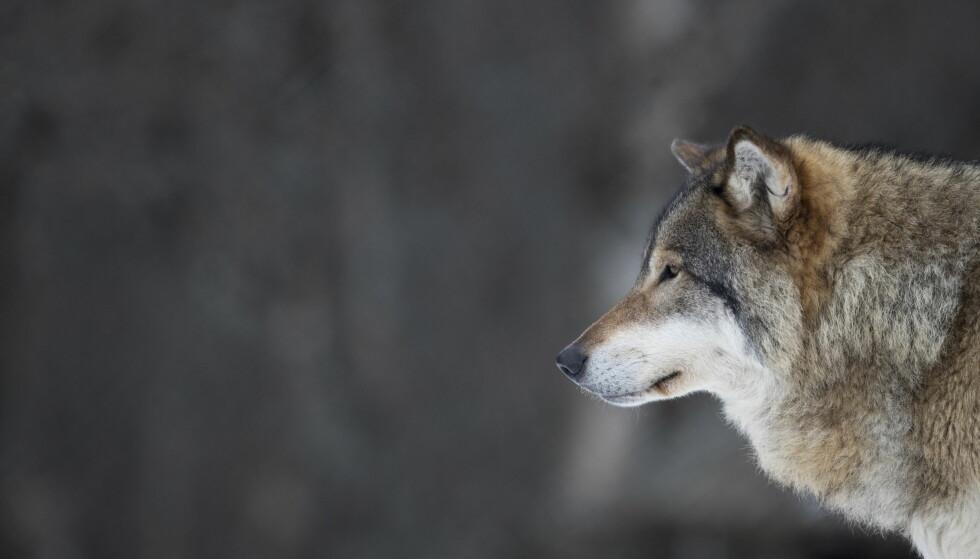 ULV SKUTT: En ung hannulv ble mandag kveld skutt i Stor-Elvdal i Hedmark. Ulven skal før det ha tatt tolv sauer. Her en voksen hannulv avbildet på Langedrag naturpark. Foto: Heiko Junge / NTB scanpix
