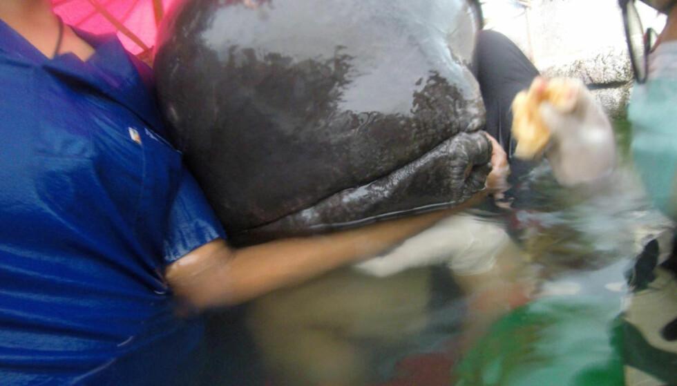 DØD: I fire dager forsøkte redningsmannskaper å redde grindhvalen, men livet sto ikke til å redde. Foto: Thailand's Department of Marine and Coastal Resources / Social Media / via REUTERS  / NTB scanpix