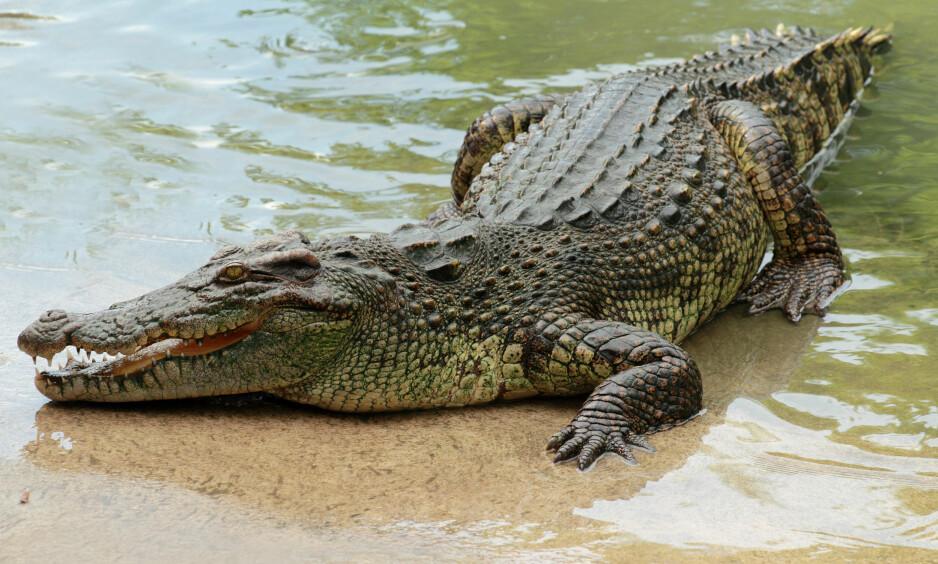 ANGREP: Presten så ikke krokodillen som lå i bakhold. Det kostet ham livet. Foto: NTB Scnapix