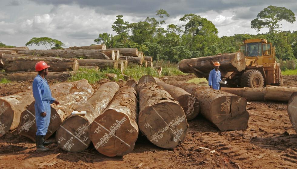 REGNSKOG: 2-300 år gamle stokker fra truede afromosiatrær blir hentet ut av regnskogen i Kongo, for deretter å ende som parkett og møbler i Europa. Foto: Nils-Inge Kruhaug / SCANPIX