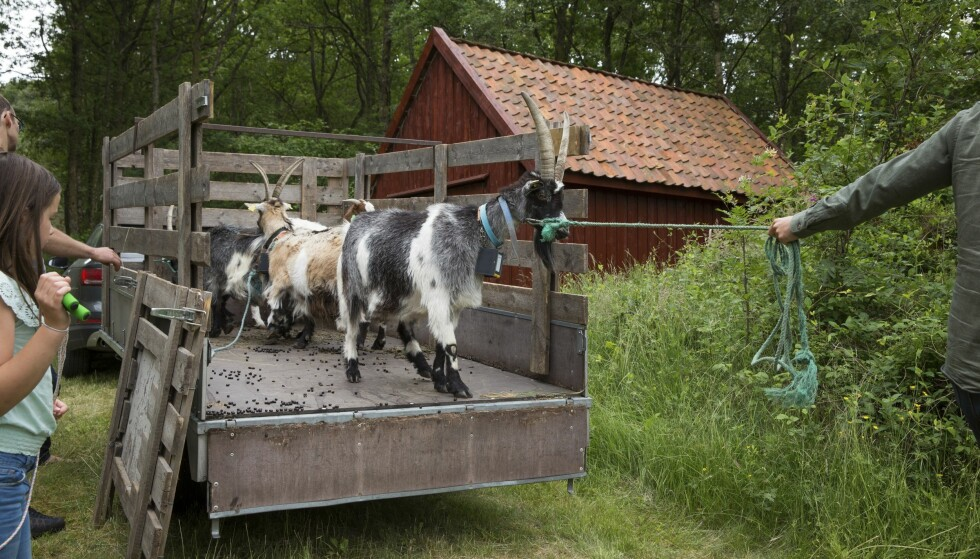 Gressklippere: Denne sommeren har Viestad sluppet geitene løs i naturen. Med hjelp av ny teknologi, holder de seg unna kjøkkenhagen hans. Foto: Mette Randem