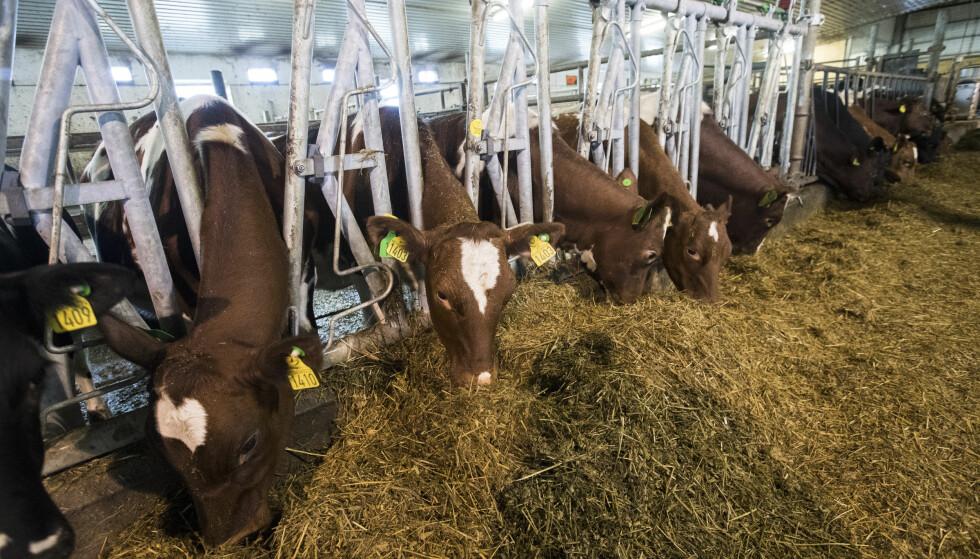 SPARER LANDBRUKSAREAL: Dersom man gikk bort fra kjøtt- og melkeproduksjon kunne 75 prosent av dagens landbruksareal vært spart, og man kunne mette jordas befolkning på dette, skriver kronikkforfatteren. Foto: NTB Scanpix