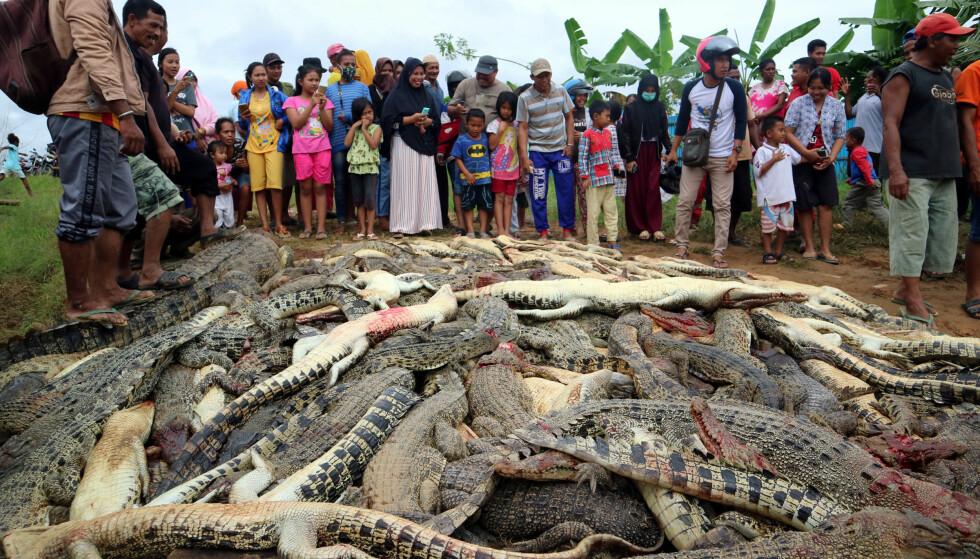 FORSØKTE Å STOPPE ANGREP: Politiet forsøkte å stoppe angrepet som førte til 292 krokodillers død. Det klarte de ikke. Foto: Antara Foto/Olha Mulalinda /via REUTERS