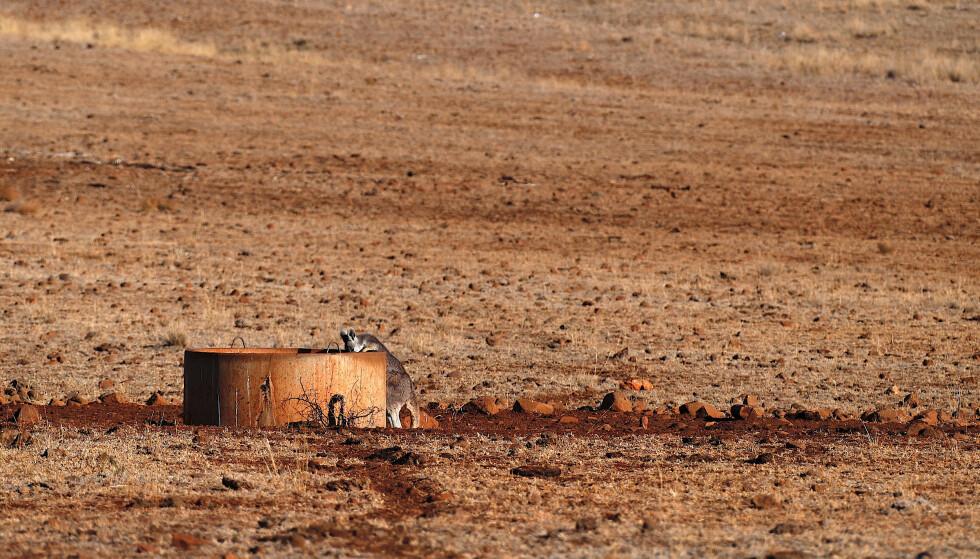 TØRST: En kenguru drikker vann fra en brønn nordvest i delstaten New South Wales i Australia. Dette bildet er fra starten av juni. Siden den gang har det knapt regnet i delstaten. Foto: NTB scanpix