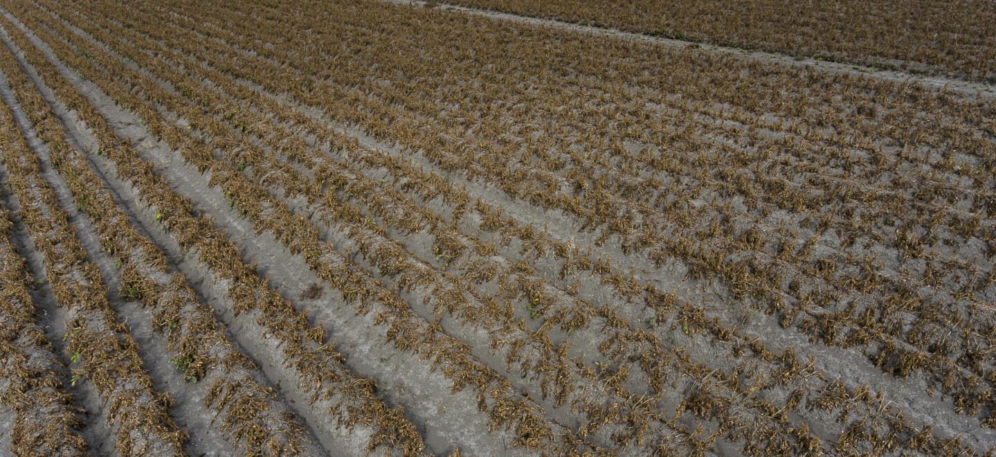 AVLINGSSVIKT: Bønder på Sør- og Østlandet har blitt rammet hardt av tørken. Her fra en potetåker på Hobbelstad gård på Eiker. Foto: Lars Eivind Bones / Dagbladet