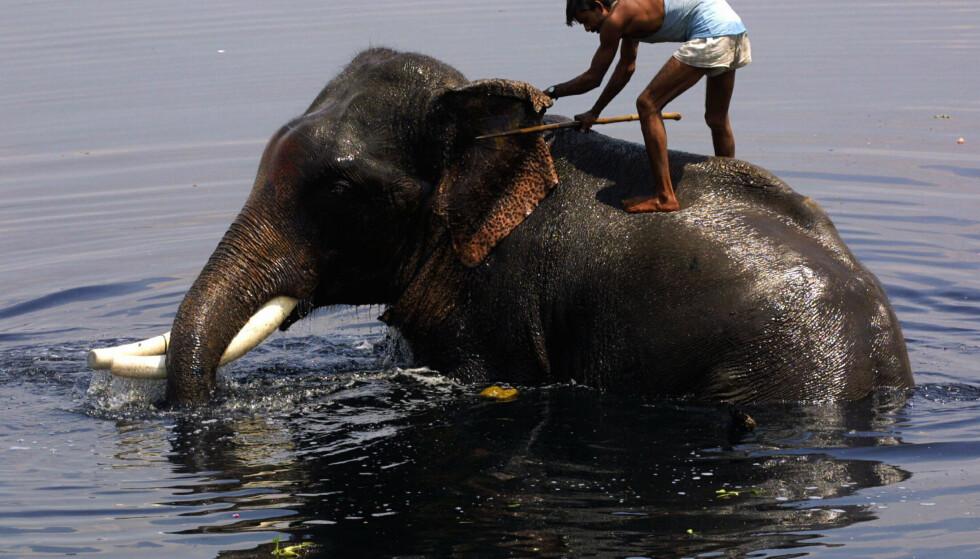 STERKE GENER: Elefantpasser som bader elefant i Yamuna-elven i New Dehlis gamleby i India. Foto: Terje Bendiksby, NTB Scanpix.