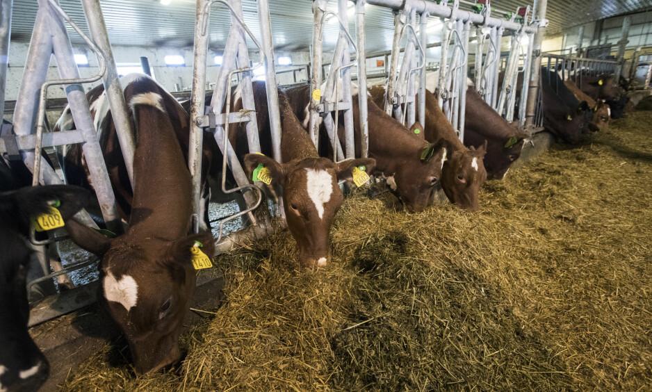 BLANT DE LAVESTE: Det er ingen tvil om at utslippene fra norsk produksjon av rødt kjøtt er blant de laveste i verden, i likhet med noen få andre land i Europa, skriver artikkelforfatteren. Foto: Terje Bendiksby / NTB scanpix