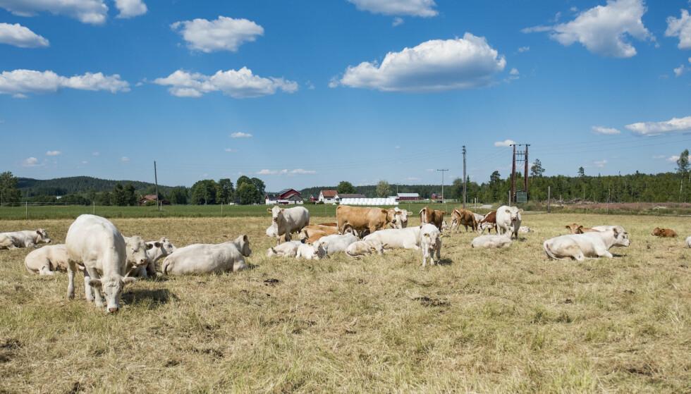 TØRKE: Tørke og fôrmangel har svekket norske bønder i sommer. Endelig er bøndene enige med staten om krisepakke. Foto: Tor Erik Schrøder / NTB scanpixFoto: Tor Erik Schrøder / NTB scanpix