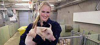 Snart kan juleribba være laget av griser vokst opp på tømmer