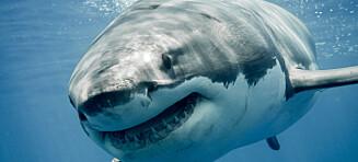 Har oppdaget hemmelig «undervannshule» full av hvithai