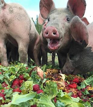 GRISEMAT: Overskuddsmat gis til glade griser ved Midtre Ekern Gård. Her er Frøya på ni år. Foto: Kristin Marcussen Kongelf