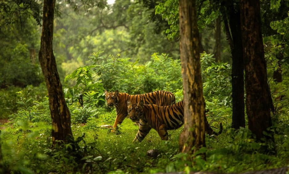 TIGERE: I landsbyen Pandharkawada har 13 mennesker blitt drept av en enkelt tiger de siste to åra. Den antas å ha kommet fra et vernet område i nærheten, som dette reservatet nær Chandrapur, et par mil øst for landsbyen i sentrale India. Foto: New York Times / NTB Scanpix