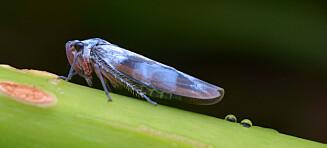 Pentagon forsker på insekter som kan spre virus. Mistenkes for å utvikle biologisk våpen