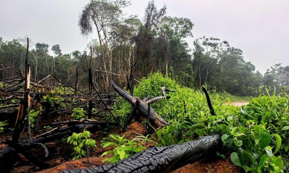 AVSKOGING: Ulovlig hogget regnskog, på et område som tilhører en leverandør til soyaselskapet Caramuru - som samarbeider tett med flere norsk oppdrettsgiganter. Leverandøren skal være bøtelagt for forholdet. Foto: Fra rapporten