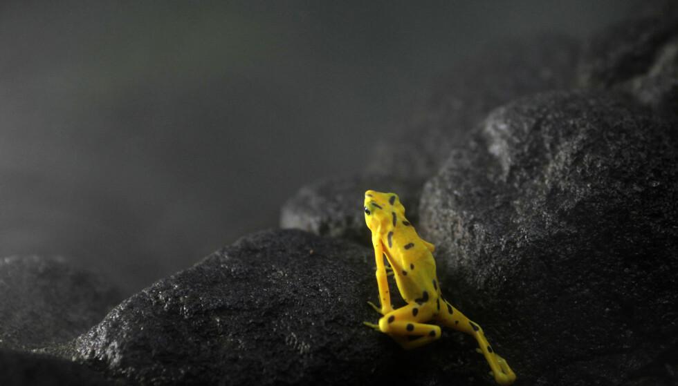 KRITISK TRUET: Verden opplever nå en enorm nedgang i bestander av ville dyr, samtidig som arter forsvinner i et alarmerende tempo. Frosken på bildet er av den kritisk truede arten Atelopus zeteki som lever i Panama. Foto: Carlos Jasso / Reuters / NTB Scanpix