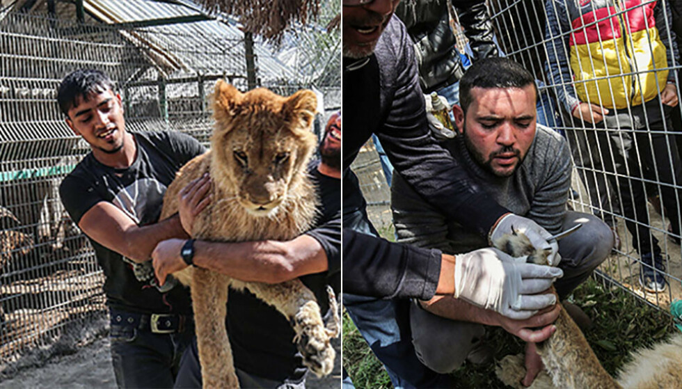 «Falestine»: Løvinnen som bor i en dyrehage i Gaza har fått fjernet klørne for at barn skal leke med henne. Foto: Said Khatib / AFP / NTB Scanpix