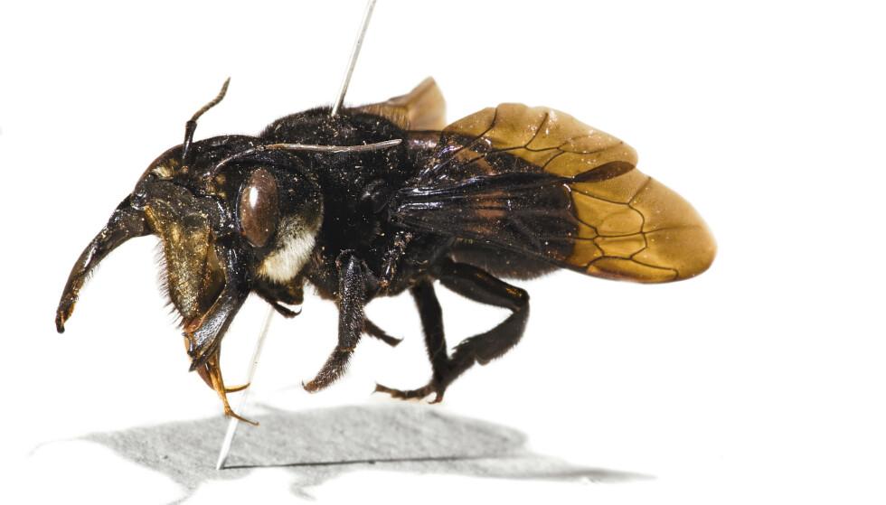 ANTATT UTRYDDET: Et eksemplar av kjempebien Wallaces kjempebie, som man antok var utryddet, er funnet på en øy i Indonesia. Dette eksemplaret befinner seg på Naturhistorisk museum i London. Foto: London Natural History Museum / NTB scanpix