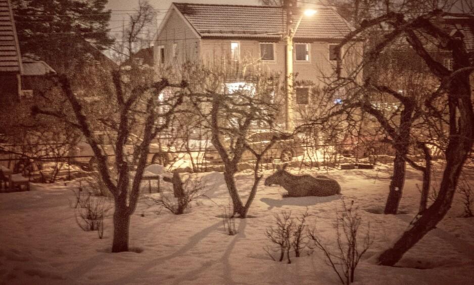 STAMGJEST: I et boligfelt på Tåsen i Oslo har en elg oppholdt seg over lengre tid. FOTO: Torbjørn Lysebo Ekelund