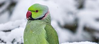 Papegøyen som vil bli Mossekråke