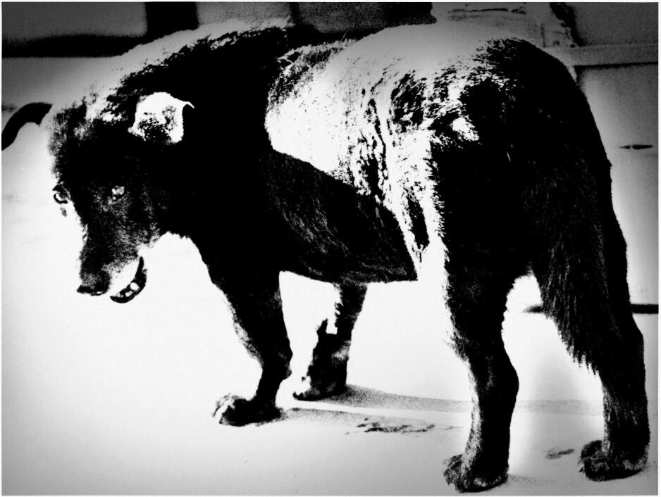 VINNERBILDET: Daido Moryiamas ikoniske Stray Dog. Endelig vinner den japanske kunstneren den prestisjetunge Hasselbladprisen.